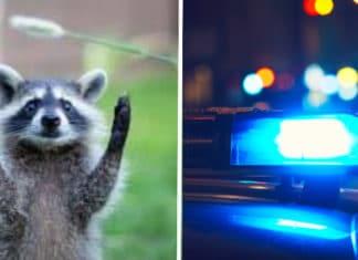 In-progress burglary in Richmond involves masked bandits -- the four-legged kind