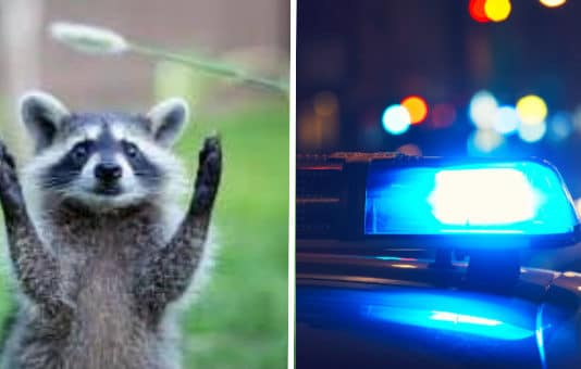 In-progress burglary in Richmond involves masked bandits -- the four-legged kind